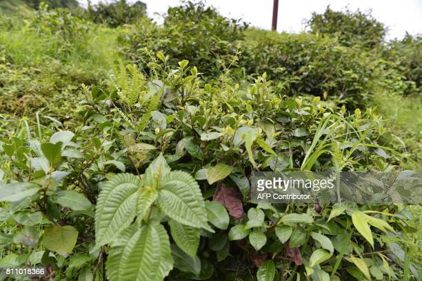 In this picture taken on July 7 2017 shows weeds growing amongst tea bushes at the high altitude Happy Valley Tea garden during an indefinite strike...