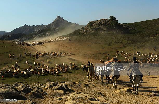 In this picture taken on June 2 2012 shows Kazakh nomads herding their livestocks with their caravan across a plain in Altay farwest China's Xinjiang...