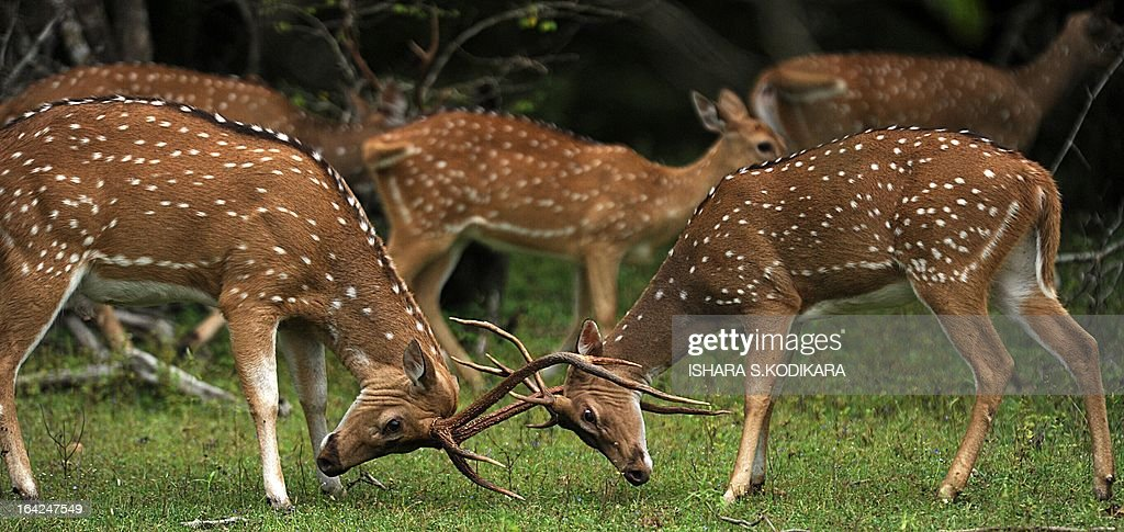 In this picture taken on March 21 2013 spotted deer play at Yala National Park in the southern district of Yala around 250 kms southwest of Colombo...