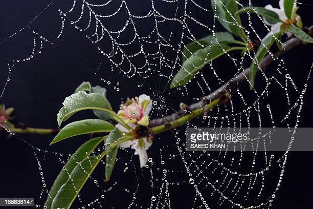 In this picture taken on May 12 2013 water drops hang on a spider's web in Sydney AFP PHOTO / Saeed Khan