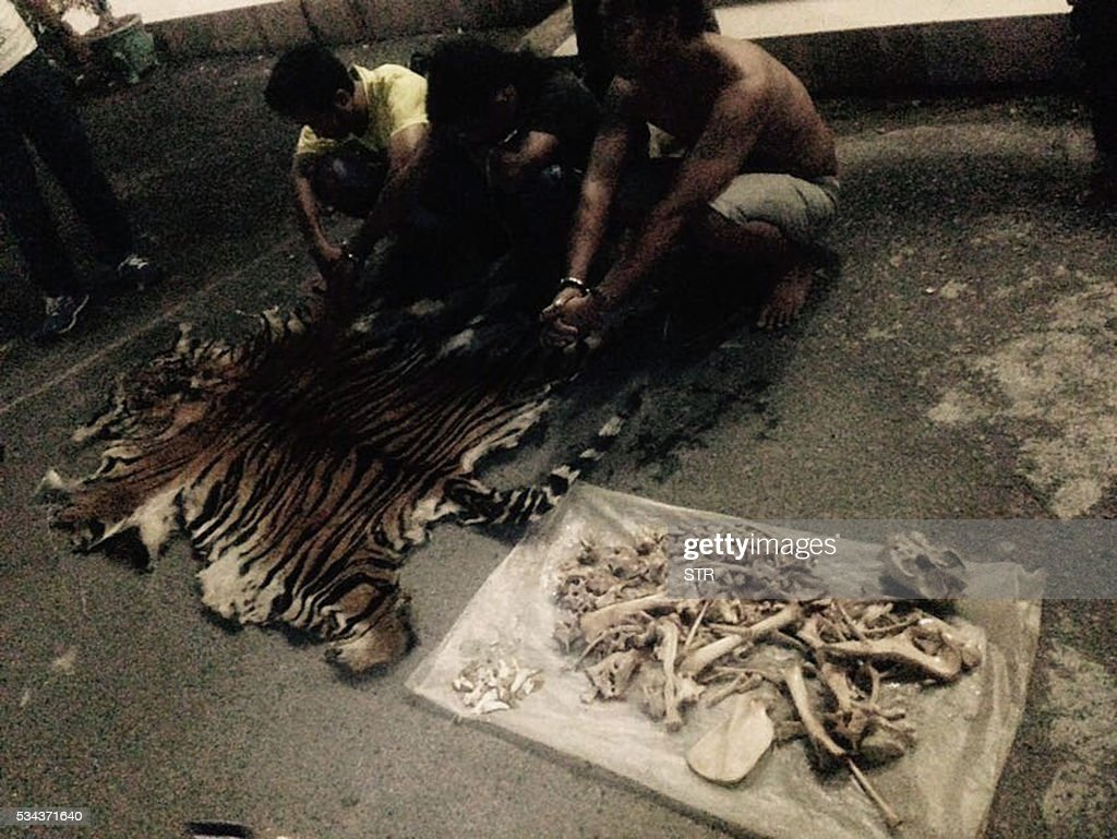 In this undated handout photograph released by the Ministry of Environment and Forestry Republic of Indonesia on May 26, 2016, shows three man suspected of poaching rare Sumatran tigers squatting next to evidence of skin and bones of a tiger from the protected forests of Mount Leuser National Park, after they were caught. Three men accused of poaching rare Sumatran tigers in Indonesia have been arrested, an official said on May 26, with police seizing animal hides, bones and teeth during raids. / AFP / MINISTRY OF ENVIRONMENT AND FORESTRY REPUBLIC OF INDONESIA / STR / - EDITORS NOTE - RESTRICTED TO EDITORIAL USE - MANDATORY CREDIT 'AFP PHOTO / MINISTRY OF ENVIRONMENT AND FORESTRY REPUBLIC OF INDONESIA' - NO