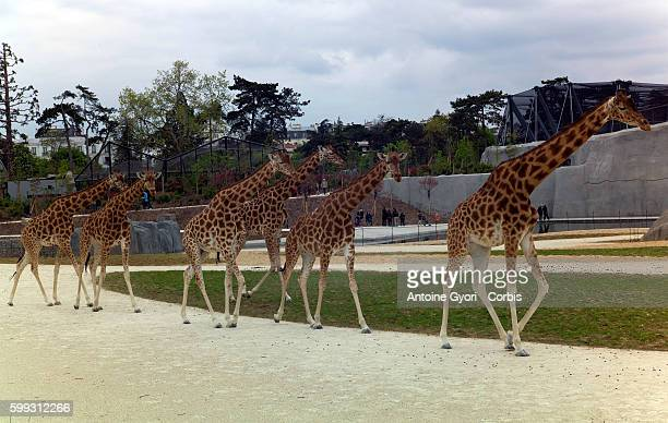 Inaugurated in 1934 the Paris Zoo will reopen for the public after being closed for fouryears for renovation transforming the zoo with new quarters...