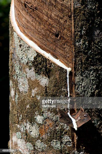 Incised Rubber Tree -Hevea brasiliensis-, natural rubber production on a plantation, Peermade, Kerala, India