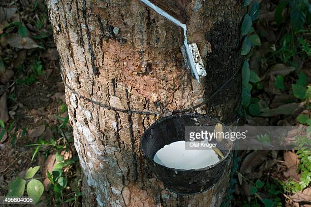Incised Rubber Tree -Hevea brasiliensis- with collecting vessel, natural rubber production on a plantation, Peermade, Kerala, India