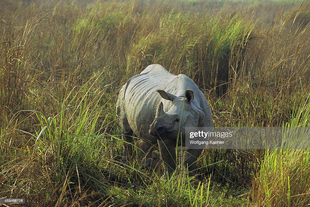 India Assam Kaziranga National Park Onehorned Rhinoceros In Grass