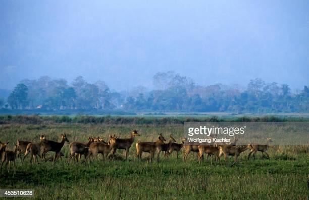 India Assam Kaziranga National Park Swamp Deer