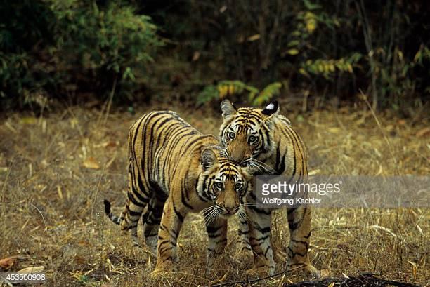 India Bandhavgarh National Park Bengal Tiger Cubs Playing