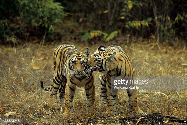 Bengal Tiger Stock Photos and Pictures | Getty Images