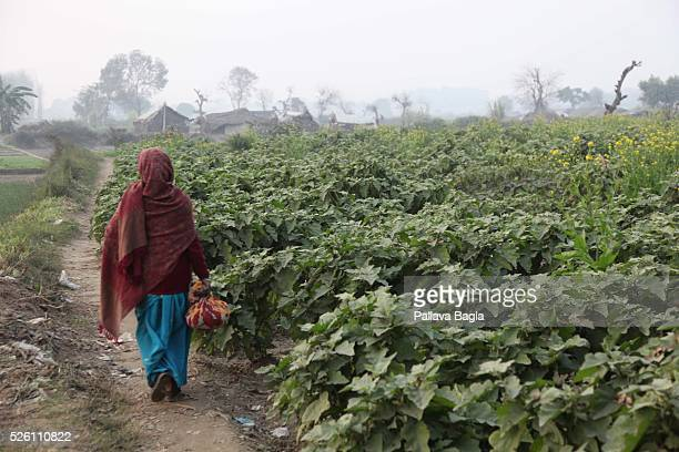 India battles introduction of Genetically Modified foods A brinjal field India houses over 2500 varieties of organically grown brinjal varieties and...