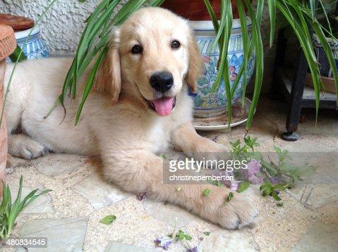 India, Delhi, South West Delhi, New Delhi, Vasant Vihar, Two month old Golden Retriever puppy chewing plants : Stock Photo