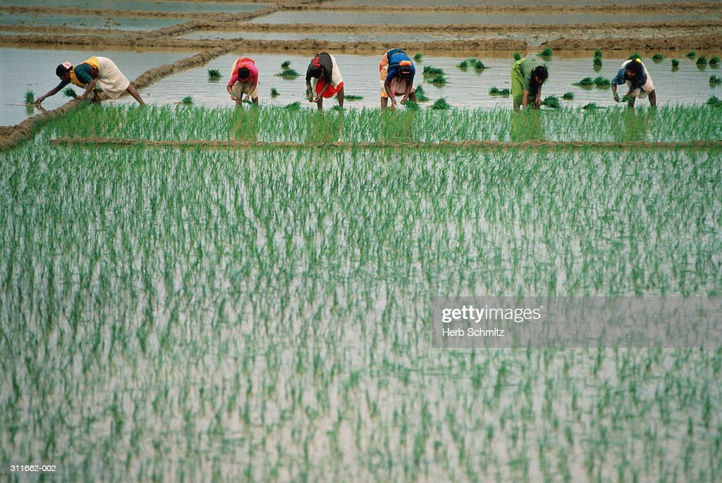 India, Goa, women at work in rice fields