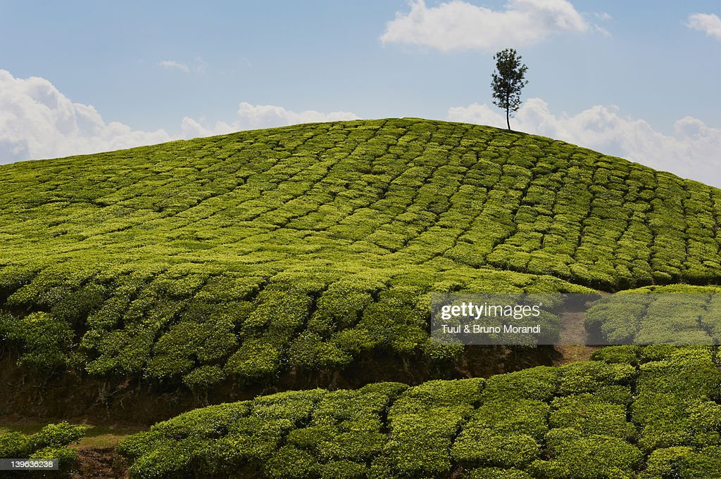 India Kerala State Munnar Tea Plantations Stock Photo   Getty Images