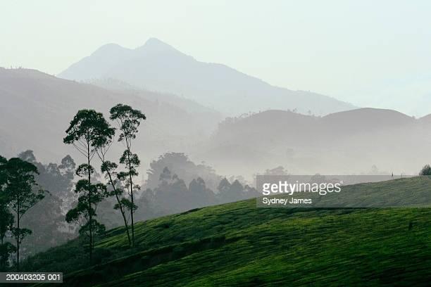 India, Kerala, Western Ghats Mts., sunset over tea plantations