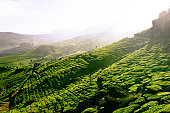 India, Kerala, Western Ghats Mts., tea plantations, elevated view