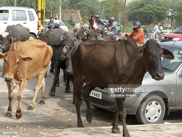 India New Delhi Cows Crossing Road In Traffic