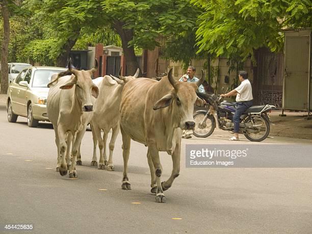 India New Delhi Upmarket Suburb Of Vasant Vihar Cows In Street