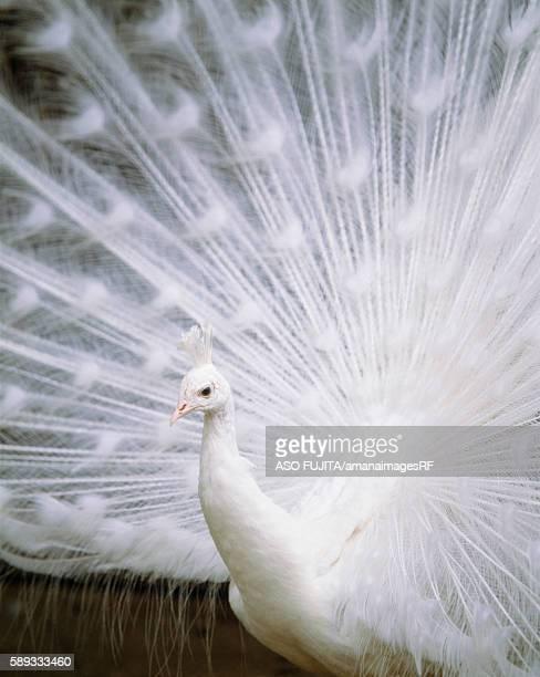 India Peafowl. Shodoshima, Okayama Prefecture, Japan