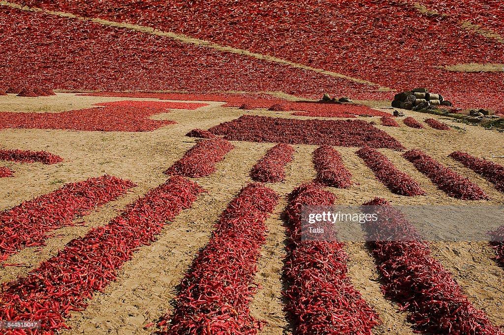 India, Rajasthan, Jodhpur, Chili drying in Thar Desert : Stock Photo