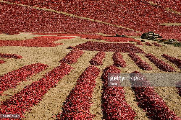 India, Rajasthan, Jodhpur, Chili drying in Thar Desert