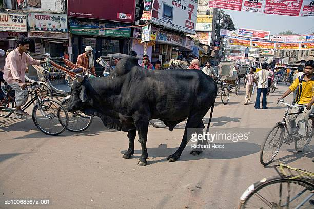 India, Uttar Pradesh, Agra, cow surrounded by bicycles in street