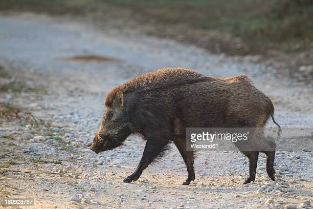 India, Uttarakhand, Wild boar at Jim Corbett National Park