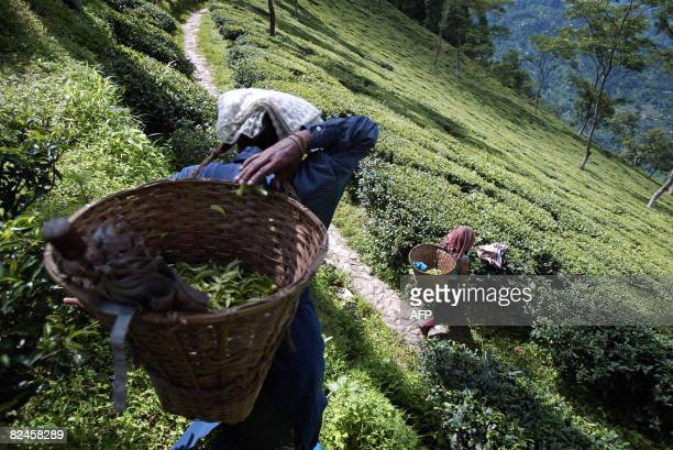 STORY 'Indiacommoditiesteatourism' by Parul Gupta Indian tea garden women labourers walk through the Tumsong plantation some 40 km from Siliguri on...