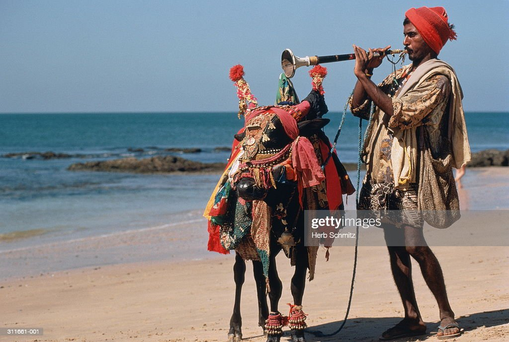 India,Goa,Ajuna beach,musician with decorated cow,playing horn on beac : Stock Photo