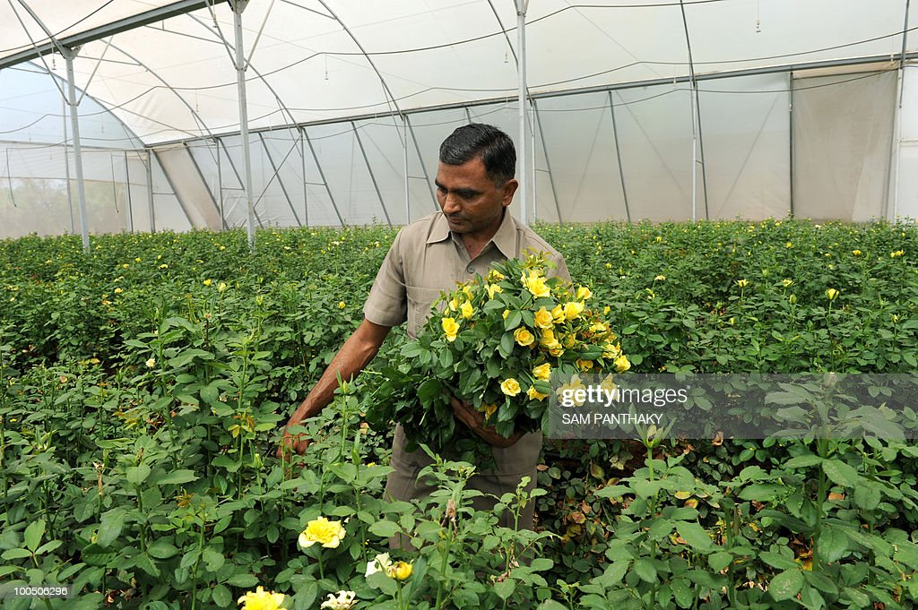 Indian agronomist Bhagwanbhai harvests Dutch roses at Vandan Floritech greenhouse in the village of Kasindra, some 25 kms. from Ahmedabad on May 25, 2010. Vandan Floritech has greenhouses of one acre each built with technology and automation from an Israel based company. A temperature of 38 degrees Celcius is maintained in the greenhouses where some 900,000 roses are produced in each every year using The Reverse Osmosis (RO) system of watering. AFP PHOTO/Sam PANTHAKY