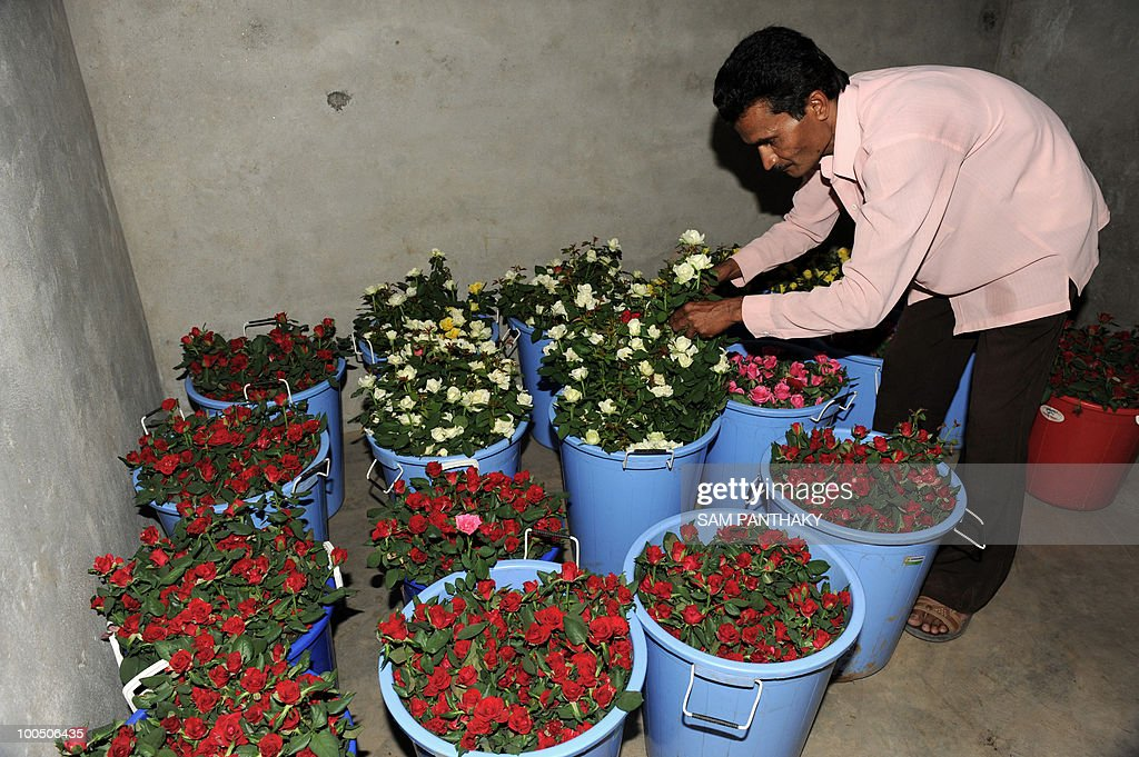Indian agronomist Jeetendrabhai arranges containers of Dutch roses inside a cooling plant at Vandan Floritech greenhouse in the village of Kasindra, some 25 kms. from Ahmedabad on May 25, 2010. Vandan Floritech has two greenhouses of one acre each built with technology and automation from an Israel based company. A temperature of 38 degrees Celcius is maintained in the greenhouses where some 900,000 roses are produced in each every year using The Reverse Osmosis (RO) system of watering. AFP PHOTO/Sam PANTHAKY