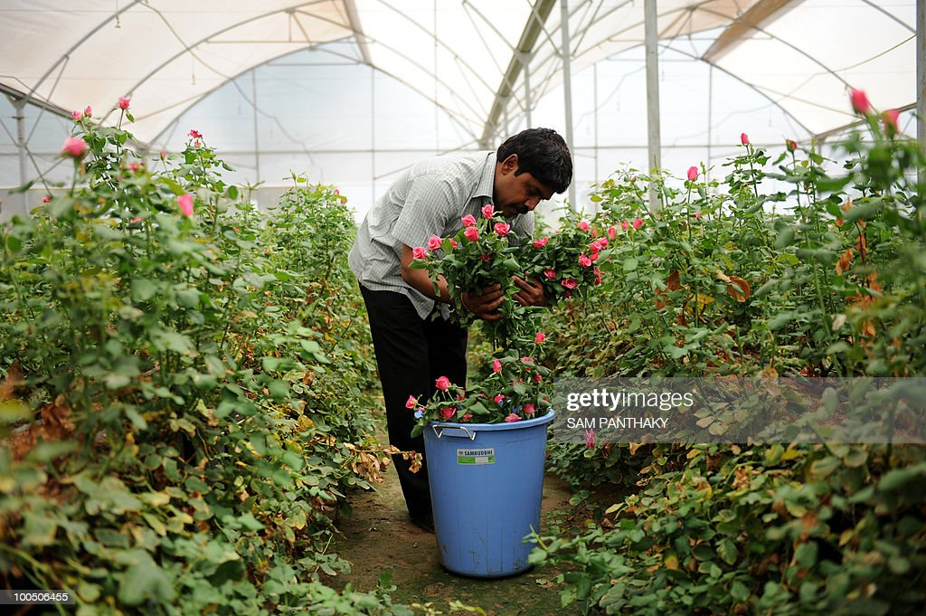 Indian agronomist Rajubhai collects Dutch roses at Vandan Floritech greenhouse in the village of Kasindra, some 25 kms. from Ahmedabad on May 25, 2010. Vandan Floritech has two greenhouses of one acre each built with technology and automation from an Israel based company. A temperature of 38 degrees Celcius is maintained in the greenhouses where some 900,000 roses are produced in each every year using The Reverse Osmosis (RO) system of watering. AFP PHOTO/ Sam PANTHAKY