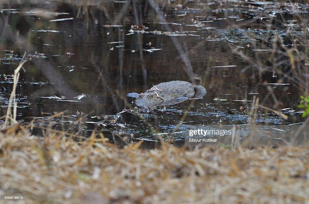 Indian Alligator Crocodile half submerged in water