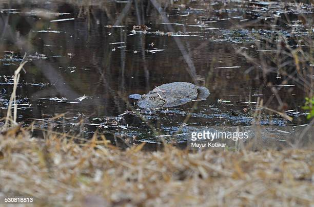 Indian Alligator Crocodile half submerged in water