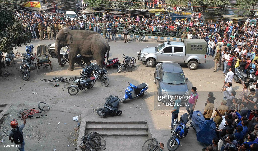 Indian bystanders watch a wild elephant walk through a busy street in Siliguri on February 10, 2016. The adult male elephant was tranquilised and captured by wildlife officials and transported to a nearby forest. AFP PHOTO / Diptendu DUTTA / AFP / DIPTENDU DUTTA