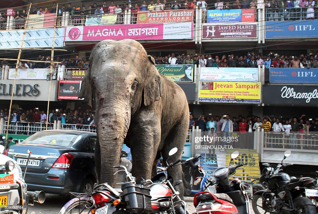 Indian bystanders watch as a wild elephant walks along a busy street in Siliguri on February 10, 2016. The adult male elephant was tranquilised and captured by wildlife officials and transported to a nearby forest. AFP PHOTO / Diptendu DUTTA / AFP / DIPTENDU DUTTA