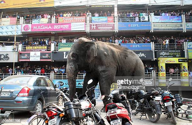Indian bystanders watch as a wild elephant walks along a busy street in Siliguri on February 10 2016 The adult male elephant was tranquilised and...