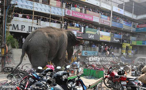 Indian bystanders watch as a wild elephant with a tranquliser dart in its back side walks along a street in Siliguri on February 10 2016 The adult...
