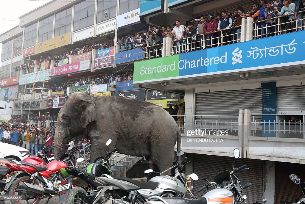 Indian bystanders watch as a wild elephant with a tranquliser dart in its back side walks along a street in Siliguri on February 10, 2016. The adult male elephant was tranquilised and captured by wildlife officials and transported to a nearby forest. AFP PHOTO / Diptendu DUTTA / AFP / DIPTENDU DUTTA