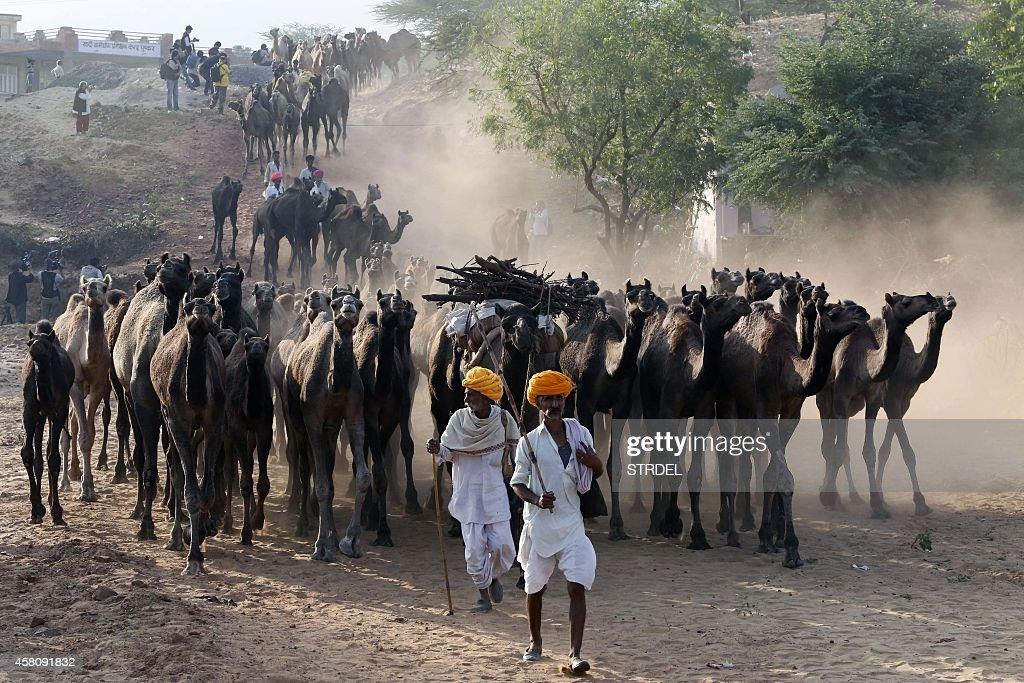 Indian camel herders arrive with their livestock at the Pushkar Camel Fair grounds in Pushkar on October 30 2014 Thousands of livestock traders from...