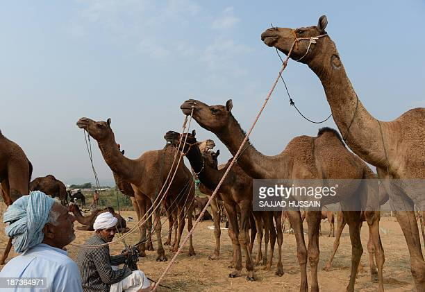 Indian camel traders sit with their camels at the camel fair grounds in Pushkar on November 8 2013 Thousands of livestock traders from the region...
