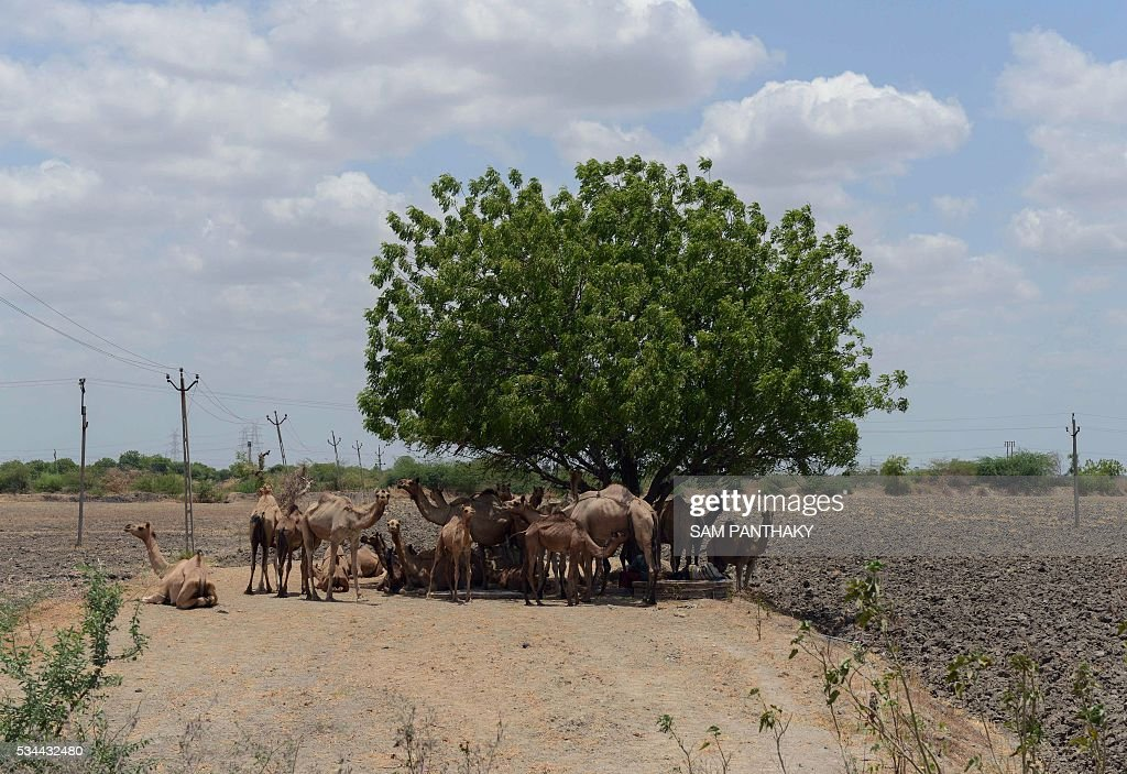 Indian camels rest under a tree on the outskirts of Ahmedabad on May 26, 2016. / AFP / SAM