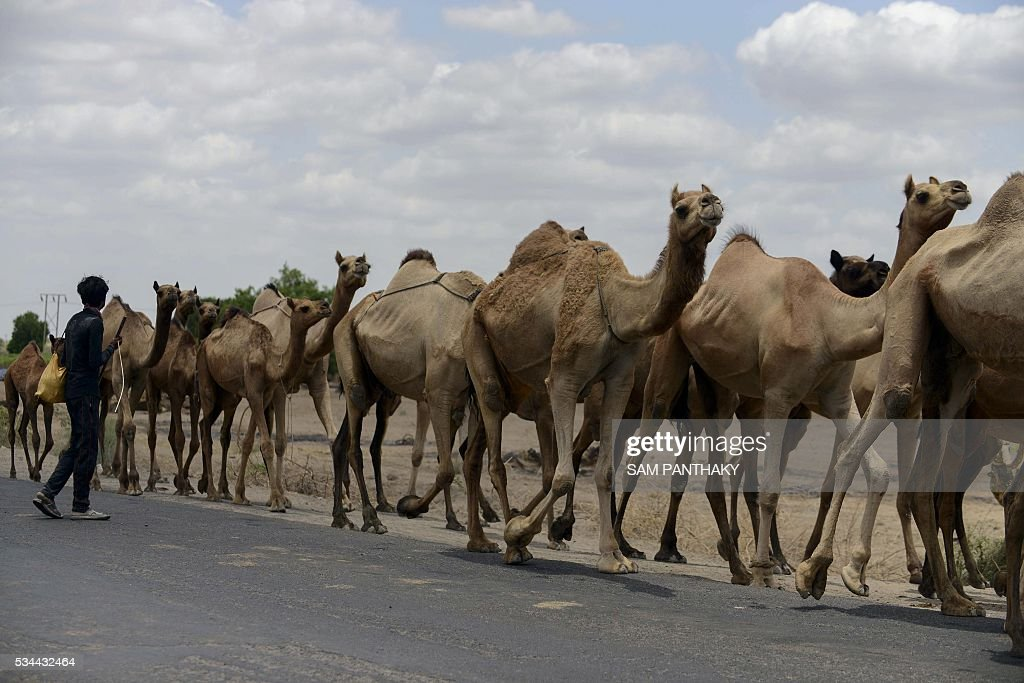 Indian camels walk escorted by their caretaker on a highway on the outskirts of Ahmedabad on May 26, 2016. / AFP / SAM