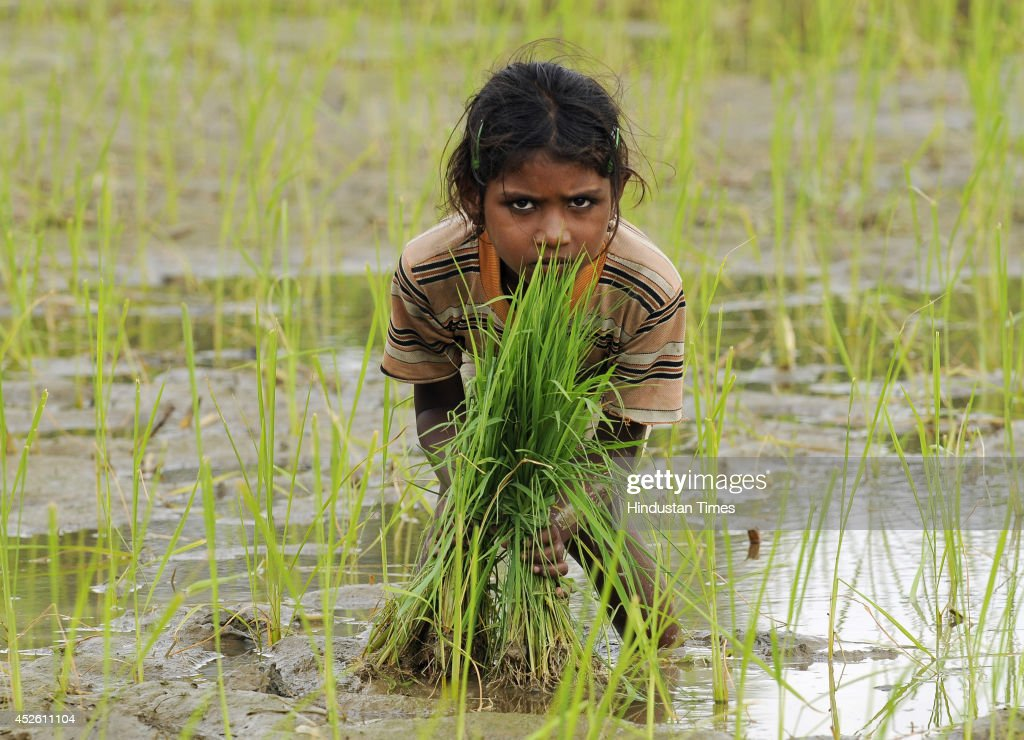 Indian child sowing paddy crop in her field on July 24, 2014 in Noida, India. India is one of the largest Rice cultivators accounting for the 20 percent of the worlds output. With less rainfall in several parts of India this monsoon, many fear drop in production of rice and other crops.