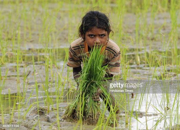 Indian child sowing paddy crop in her field on July 24 2014 in Noida India India is one of the largest Rice cultivators accounting for the 20 percent...