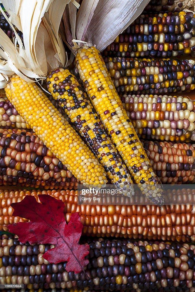 Indian corn with mini corn and fall leaf : Stock Photo
