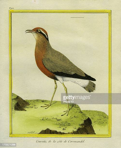 Indian Courser Cursorius coromandelicusIndian CourserGeorgesLouis Leclerc Comte of Buffon 'Natural History of birds fish insects and reptiles'...