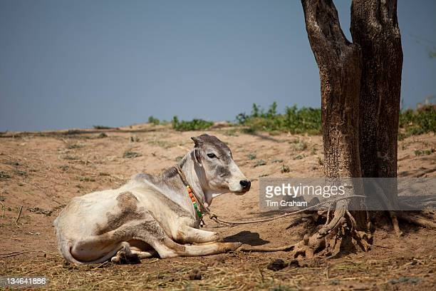 Indian cow tethered for milk at farm smallholding at Kutalpura Village in Rajasthan Northern India