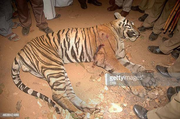 Indian district collector of Ooty P Shankar and bystanders surround the tiger which was shot down by members of the Special Task Force near Gudalur...