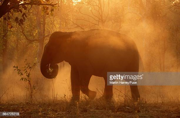 Indian Elephant Enjoying Dust Bath