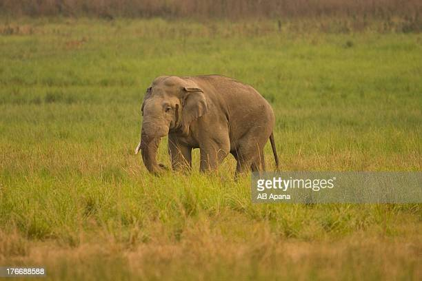 Indian Elephant in musth or rut
