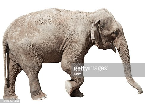 Indian Elephant isolated with clipping path on white background